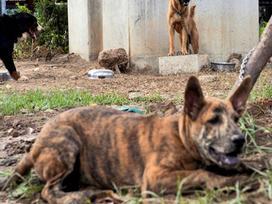Ảnh: Chó nuôi 'tung hoành' phố phường Hà Nội trước luật cấm mới