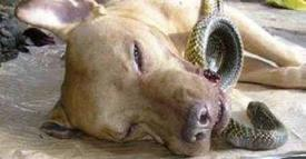 Pit Bull saves two women from deadly cobra, dies wagging his tail!