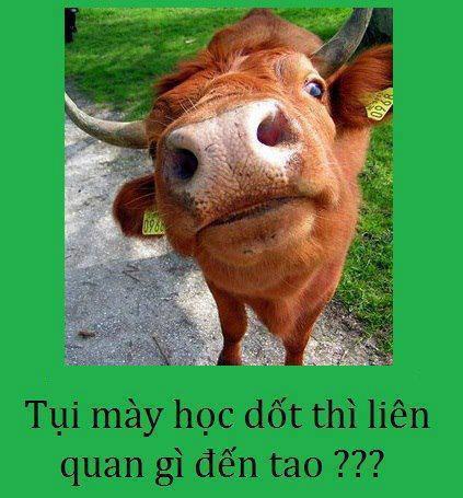 Tại sao người ta thường nói ngu như bò? Và đây là lý do bất ngờ!-1