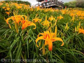 Choáng ngợp lễ hội hoa lily lớn nhất hành tinh