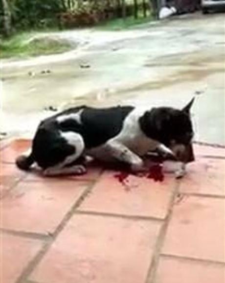 Bị lên án vì hành động chặt chân chó, người chủ lên tiếng: Tôi chặt chân để bảo vệ nó-2