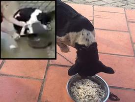 Clip: Chú chó bị chặt chân sợ sệt nhưng vẫn quẩy đuôi mừng khi được chủ chăm sóc