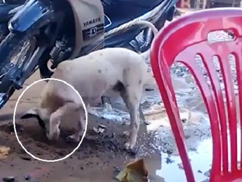 Sửng sốt với chú chó thông minh đào đất giấu bánh để dành