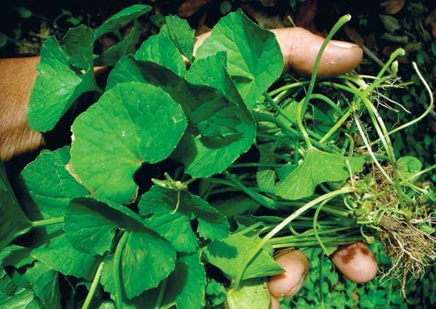 Sạch mụn, liền cả sẹo chỉ với một nắm loại rau ai cũng có trong vườn nhà-1