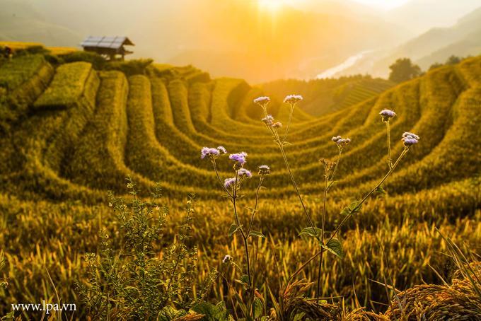 Sắc vàng lúa chín trên rẻo cao ở Mù Cang Chải-1