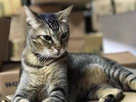 Gần 70.000 người xin cứu con mèo 'chủ tiệm thuốc' ở Hong Kong