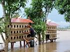 Nước lũ sông Hồng dâng cao: Dân Hà Nội liều mình bơi ra... cứu chim