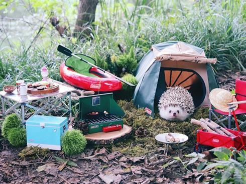 Chuyến picnic của chú nhím Nhật tí hon