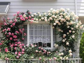 Mãn nhãn với những ngôi nhà có giàn hoa leo, ai đi qua cũng phải ngắm nhìn