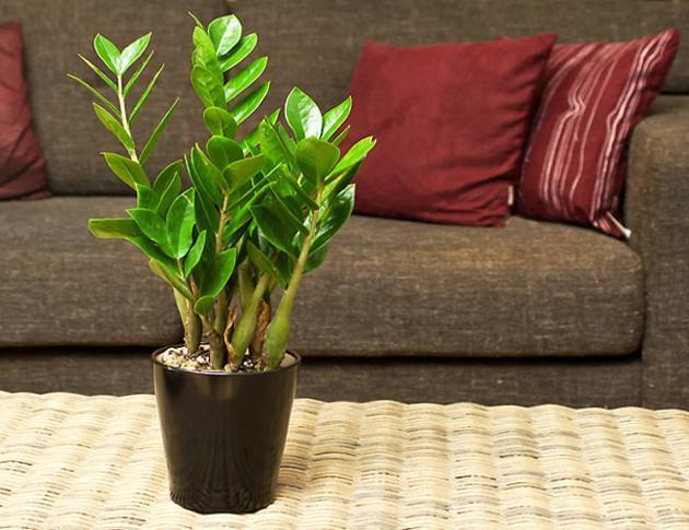 Nếu bạn tìm cây này để trồng trong phòng khách tiền sẽ ùn ùn kéo về nhà, gia đình luôn khỏe mạnh