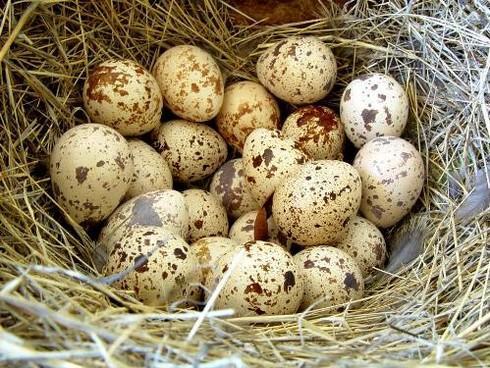 Cách làm đẹp da bằng trứng chim cút
