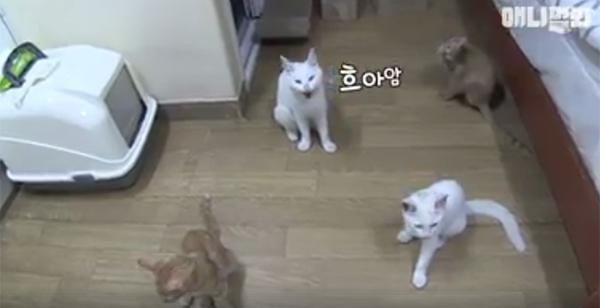 Đi khắp nơi xin đồ ăn cho cả xóm, cô mèo Hàn Quốc được mệnh danh tốt bụng nhất thế giới-2