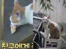 Đi khắp nơi xin đồ ăn cho cả xóm, cô mèo Hàn Quốc được mệnh danh tốt bụng nhất thế giới