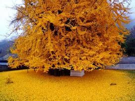Sững sờ trước vẻ đẹp ngoạn mục của cây bạch quả 1.400 năm tuổi