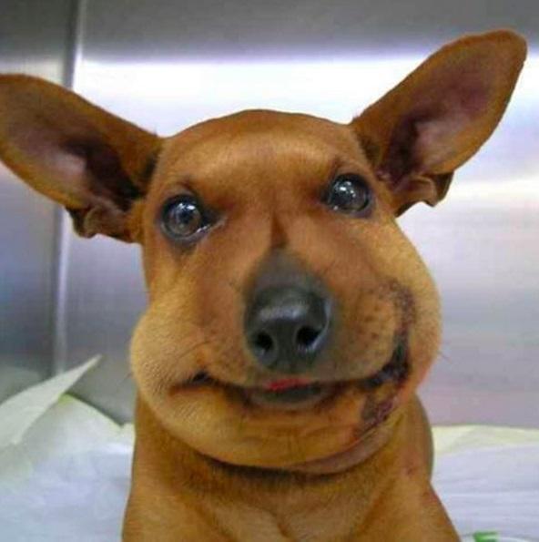 Chết cười những chú chó gặp họa vì tin lời ong bướm-8