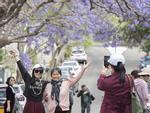 Du khách đổ xô xuống đường chụp ảnh phượng tím ở Australia