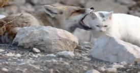 Fox was about to kill this stray cat, but when the photographer zoomed in… Now I'm SPEECHLESS