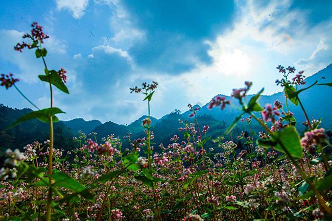 Vi vu Hà Giang ngắm hoa tam giác mạch nở đẹp ngất ngây-1