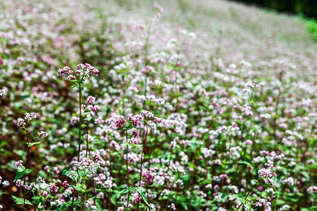 Vi vu Hà Giang ngắm hoa tam giác mạch nở đẹp ngất ngây-2