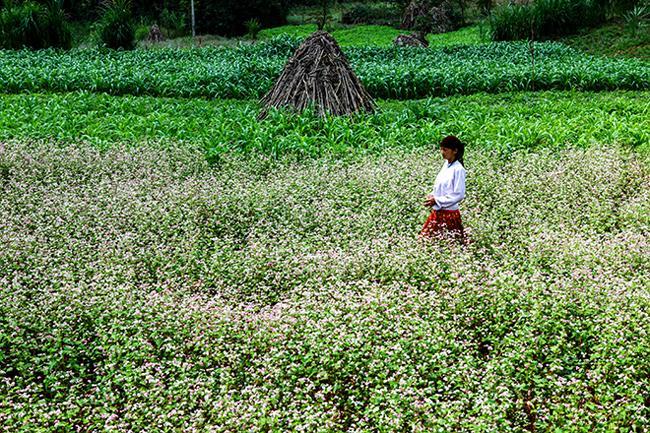Vi vu Hà Giang ngắm hoa tam giác mạch nở đẹp ngất ngây-3