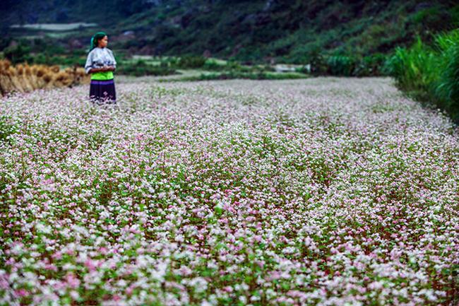 Vi vu Hà Giang ngắm hoa tam giác mạch nở đẹp ngất ngây-4