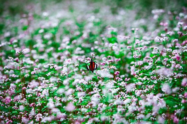 Vi vu Hà Giang ngắm hoa tam giác mạch nở đẹp ngất ngây-9