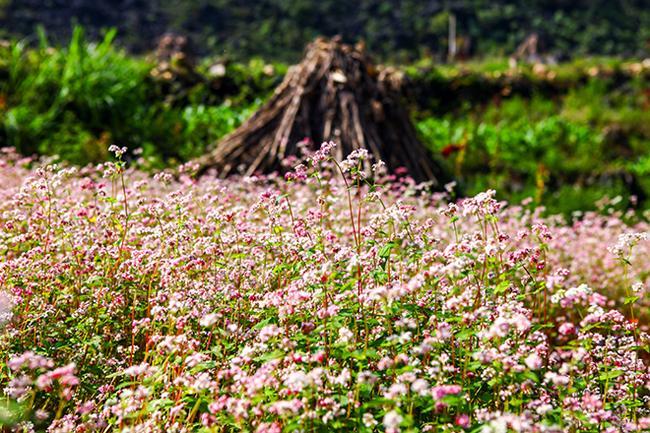 Vi vu Hà Giang ngắm hoa tam giác mạch nở đẹp ngất ngây-11