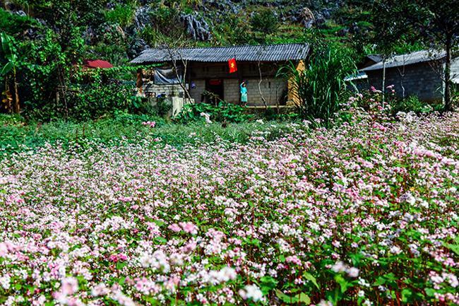 Vi vu Hà Giang ngắm hoa tam giác mạch nở đẹp ngất ngây-13