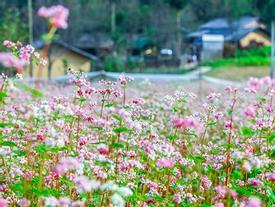 Vi vu Hà Giang ngắm hoa tam giác mạch nở đẹp ngất ngây