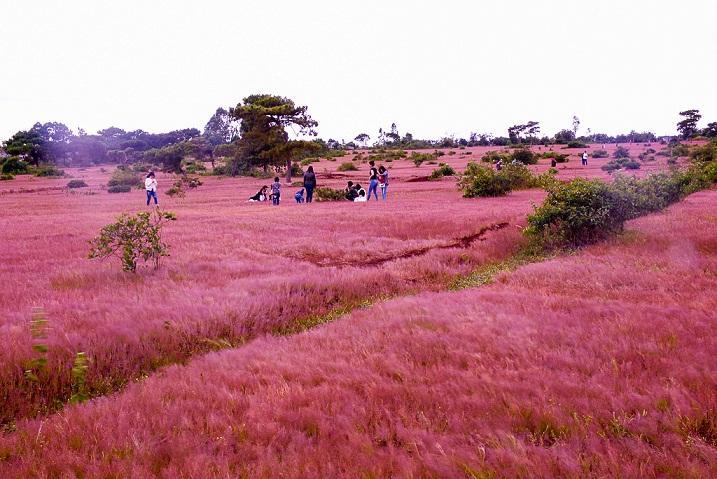 Đồi cỏ hồng ở Gia Lai đẹp như tranh vẽ hút khách đầu đông-1