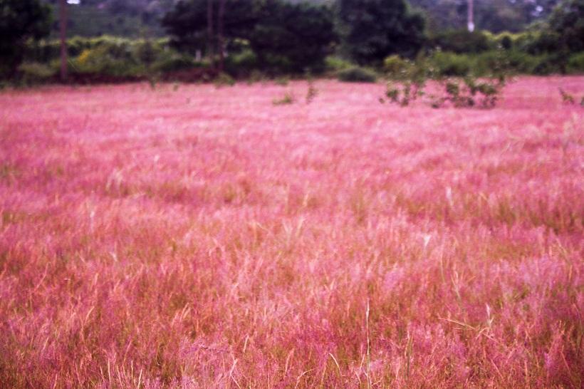 Đồi cỏ hồng ở Gia Lai đẹp như tranh vẽ hút khách đầu đông-5
