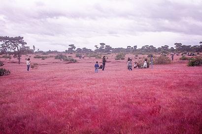 Đồi cỏ hồng ở Gia Lai đẹp như tranh vẽ hút khách đầu đông-7