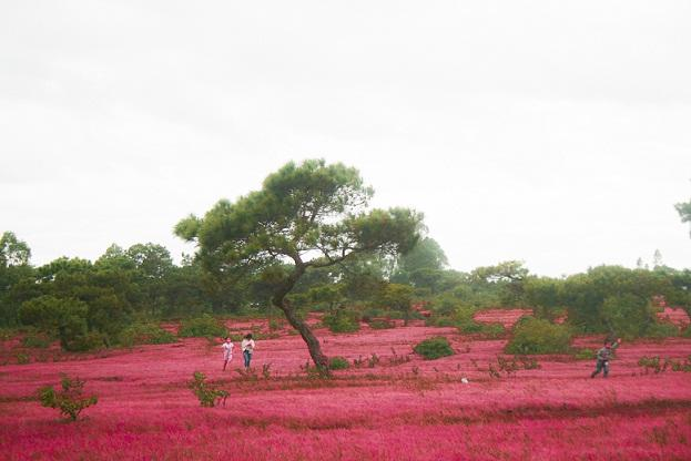Đồi cỏ hồng ở Gia Lai đẹp như tranh vẽ hút khách đầu đông-8