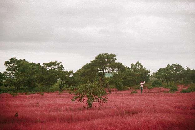 Đồi cỏ hồng ở Gia Lai đẹp như tranh vẽ hút khách đầu đông-9