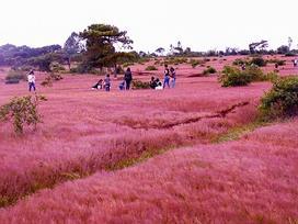 Đồi cỏ hồng ở Gia Lai đẹp như tranh vẽ hút khách đầu đông