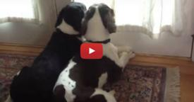 Mom Set Up Camera To See What The Dogs Do When She Leaves, Be Prepared To Have Your Heart Melted
