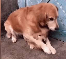 Chó mẹ gây xúc động khi ôm chặt con vì sợ chủ đem bán-1
