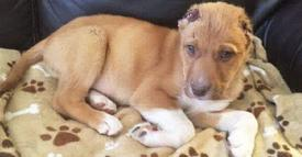 Tortured And Abused Puppy With Ears Cut Off, Desperate Search For His Abuser!
