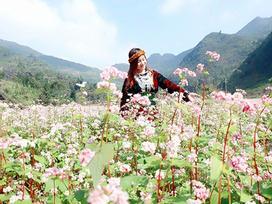 'Phát cuồng' vẻ đẹp hoa tam giác mạch bung nở trên sườn núi đá Hà Giang