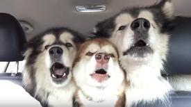 Alaskan Malamutes On Their Way To Get Groomed Start Singing The Song Of Their People