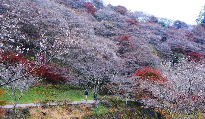 Hoa anh đào trái mùa ở ngôi làng Nhật Bản-3