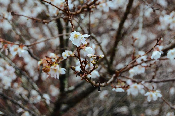 Hoa anh đào trái mùa ở ngôi làng Nhật Bản-5