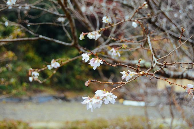 Hoa anh đào trái mùa ở ngôi làng Nhật Bản-6