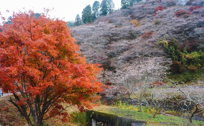 Hoa anh đào trái mùa ở ngôi làng Nhật Bản-9
