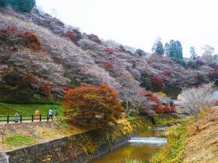 Hoa anh đào trái mùa ở ngôi làng Nhật Bản