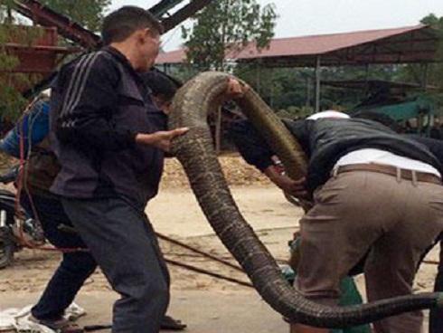 Dân kích điện bắt con rắn dài 5 mét ở Vĩnh Phúc