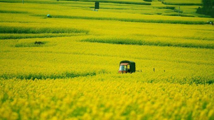 Biển hoa cải vàng ngút tầm mắt ở Trung Quốc-3