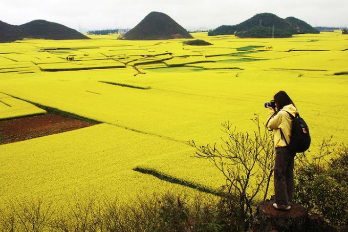 Biển hoa cải vàng ngút tầm mắt ở Trung Quốc-4
