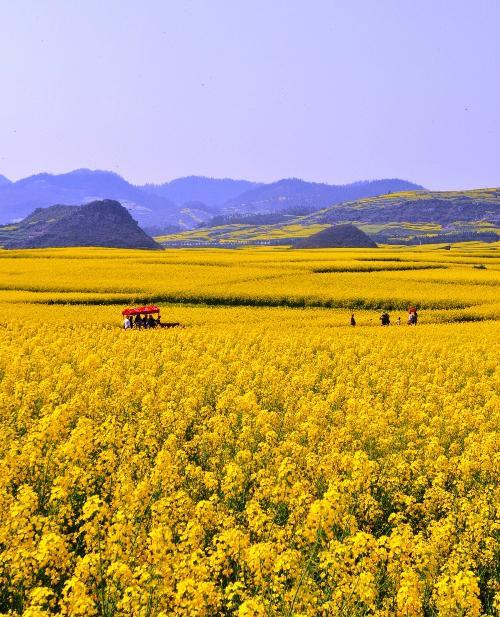 Biển hoa cải vàng ngút tầm mắt ở Trung Quốc-7
