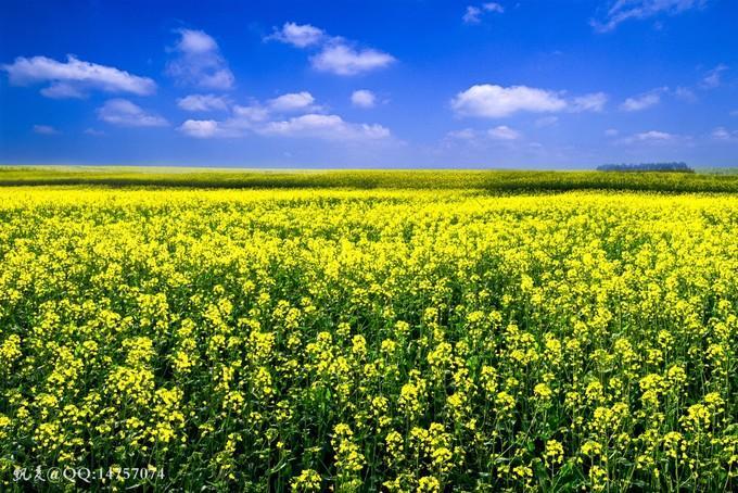 Biển hoa cải vàng ngút tầm mắt ở Trung Quốc-8